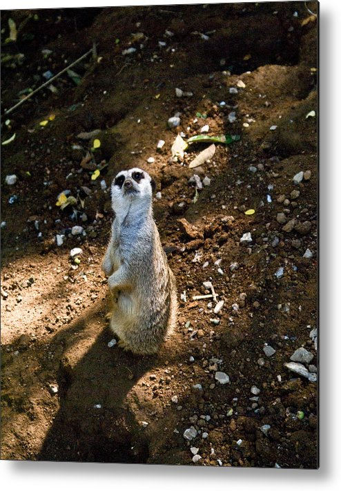 Meerkat Metal Print featuring the photograph Meerkat   Say What by Douglas Barnett