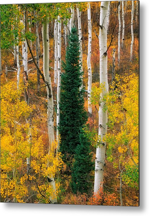 Aspens Metal Print featuring the photograph New Forests by Tim Reaves