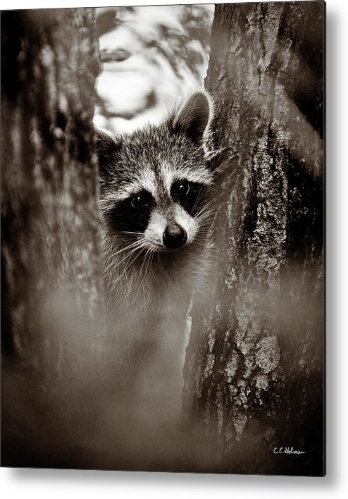 Racoon Metal Print featuring the photograph On Watch - Sepia by Christopher Holmes