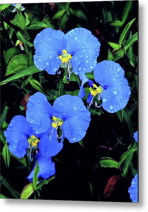 Nature Metal Print featuring the photograph Raindrops In Blue by Peg Urban