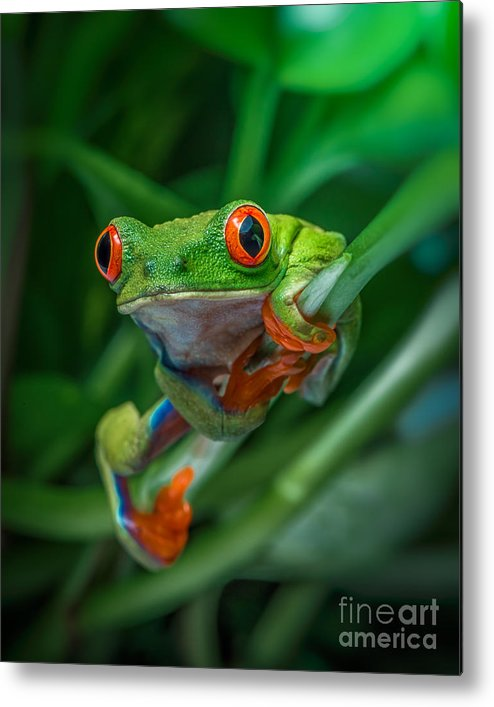 Frog Metal Print featuring the photograph Red Eyed Tree Frog by Yasar Ugurlu