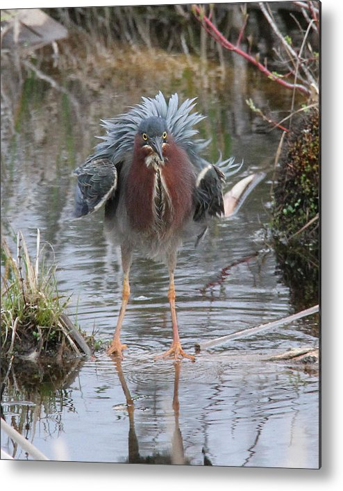 Green Heron Metal Print featuring the photograph Ruffled Green Heron by Doris Potter
