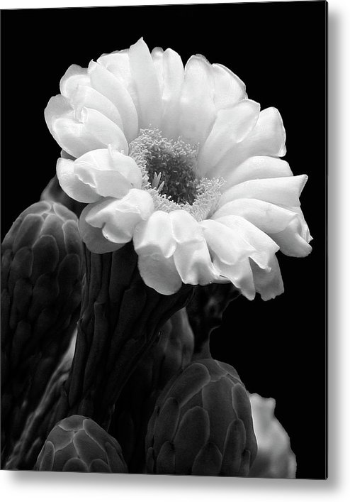 Saguaro Metal Print featuring the photograph Saguaro First Bloom by Guy Shultz