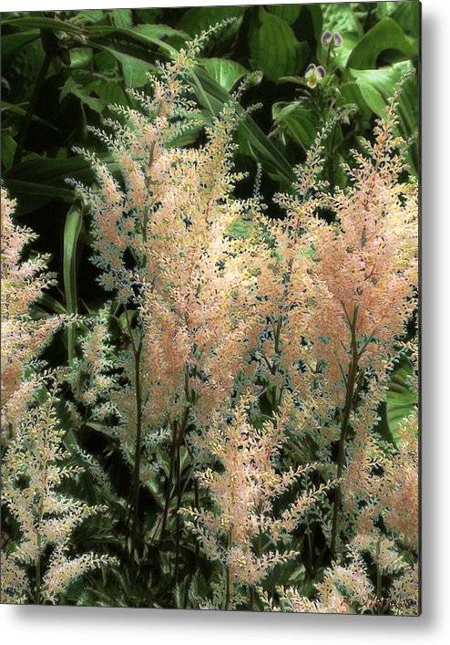 Astilbe Metal Print featuring the painting Spikes Sunkissed by RC DeWinter
