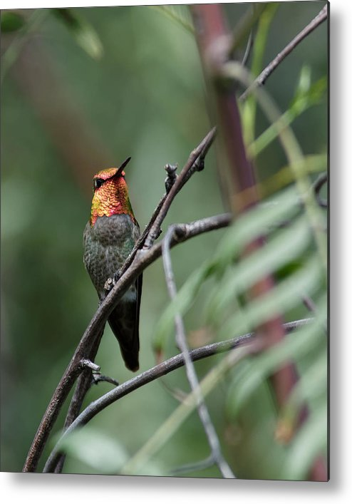 Darin Volpe Animals Metal Print featuring the photograph Standing Guard -- Anna's Hummingbird In Templeton, California by Darin Volpe