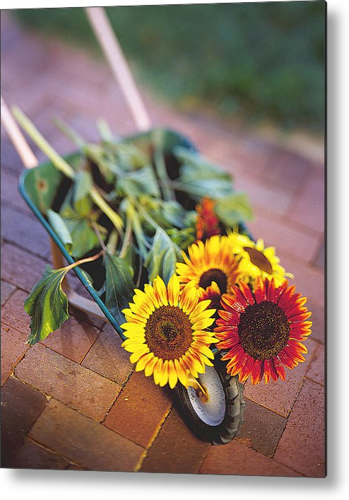 Sunflower Metal Print featuring the photograph Sunflowers by Robert Ponzoni