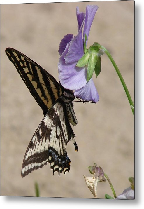 Butterfly Metal Print featuring the photograph Swallowtail by Liz Vernand