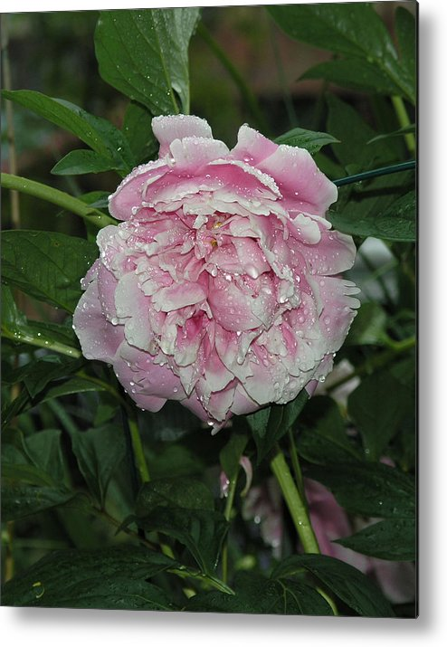 Twin Cities Metal Print featuring the photograph The Peony In Mears Park On A Rainy Day by Janis Beauchamp