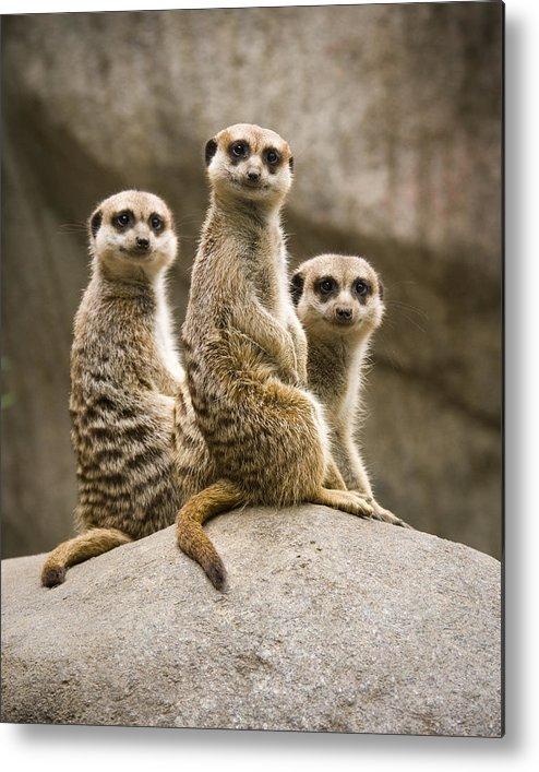Chad Davis Metal Print featuring the photograph Three Meerkats by Chad Davis