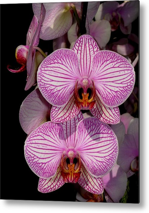 Orchid Metal Print featuring the photograph Tickled Pink by Betnoy Smith