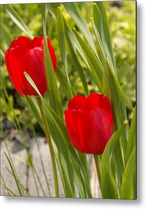 Tulip Metal Print featuring the photograph Tulip Duo by Lisa Hebert