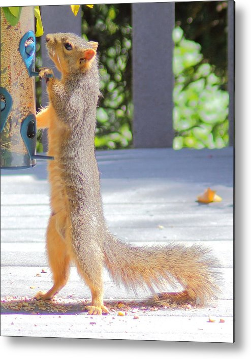 Squirrel Metal Print featuring the photograph Up Periscope by Matthew Moore