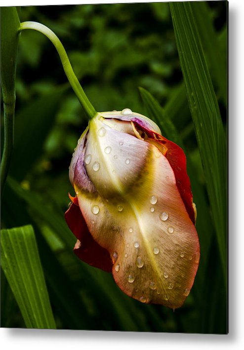 Nature Metal Print featuring the photograph Wet Flower by Rocio DeMille