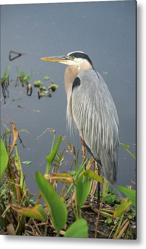Standing Water Metal Print featuring the photograph Great Blue Heron by Mark Newman