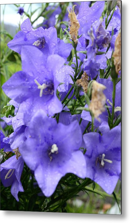 Flower Metal Print featuring the photograph A Touch of Lavender by Richard Henne