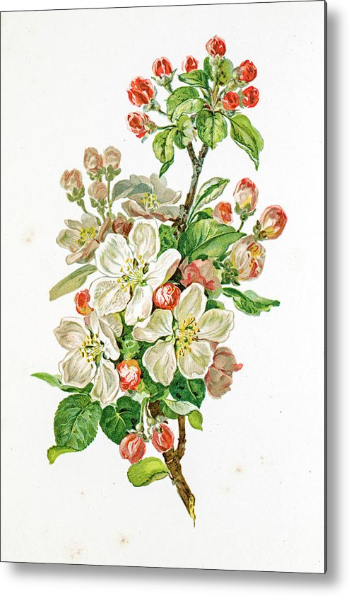 Cherry Metal Print featuring the digital art Apple Blossom 19 Century Illustration by Mashuk