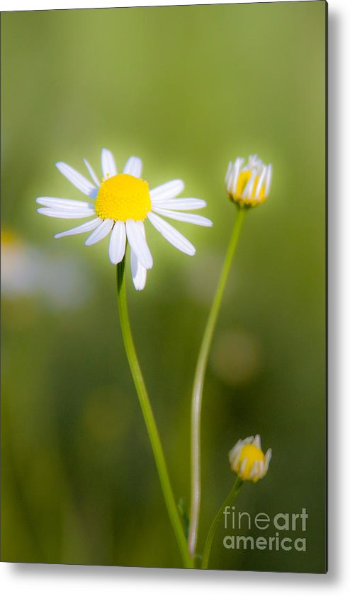 Flowers Metal Print featuring the photograph Chamomile 1 by Wayne Valler