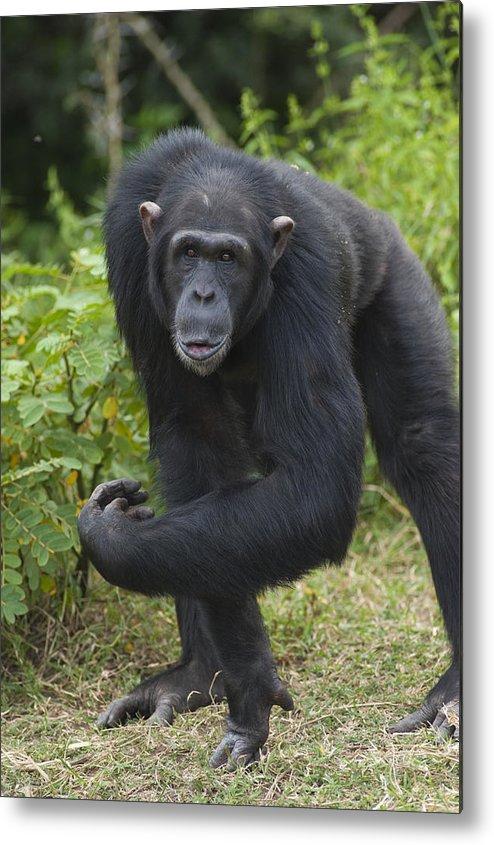 Feb0514 Metal Print featuring the photograph Chimpanzee Kenya by D. & E. Parer-Cook