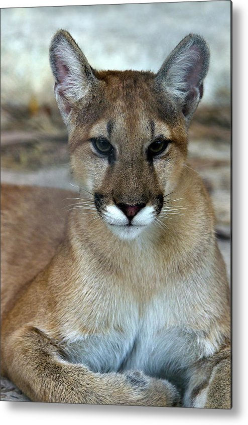 Animal Themes Metal Print featuring the photograph Florida Panther, Endangered by Mark Newman