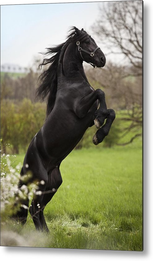 Horse Metal Print featuring the photograph Friesian or Frisian horse, stallion on a meadow, --pesade-- dressage position, airs above the ground by Carina Maiwald