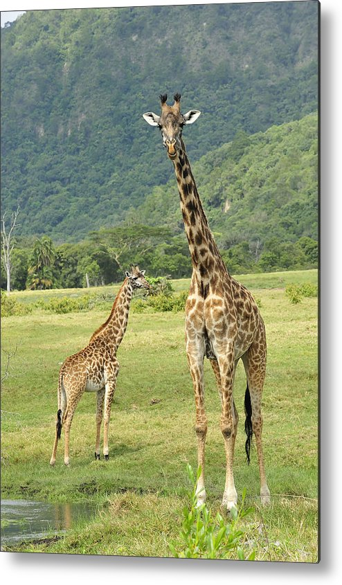 Thomas Marent Metal Print featuring the photograph Giraffe Mother And Calftanzania by Thomas Marent