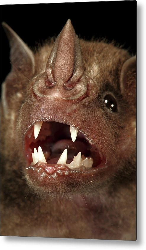 00463278 Metal Print featuring the photograph Greater Spear-nosed Bat by Christian Ziegler