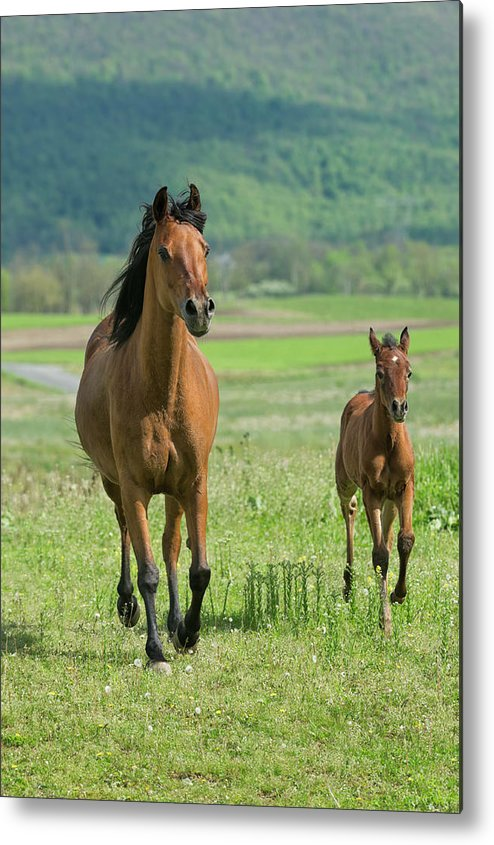 Horse Metal Print featuring the photograph Horses Running In Summer Pasture, Mare by Catnap72