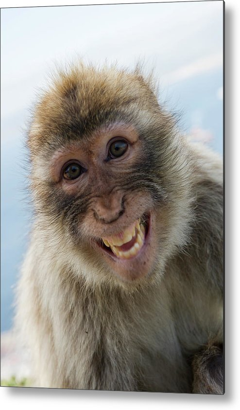 Alertness Metal Print featuring the photograph Laughing Gibraltar Ape Barbary Macaque by Holger Leue