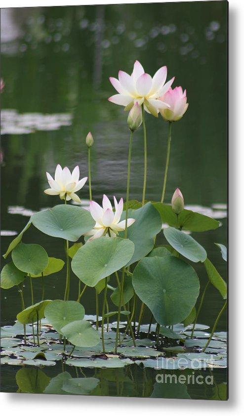 Lotus Metal Print featuring the photograph Lotus Patch by Christiane Schulze Art And Photography