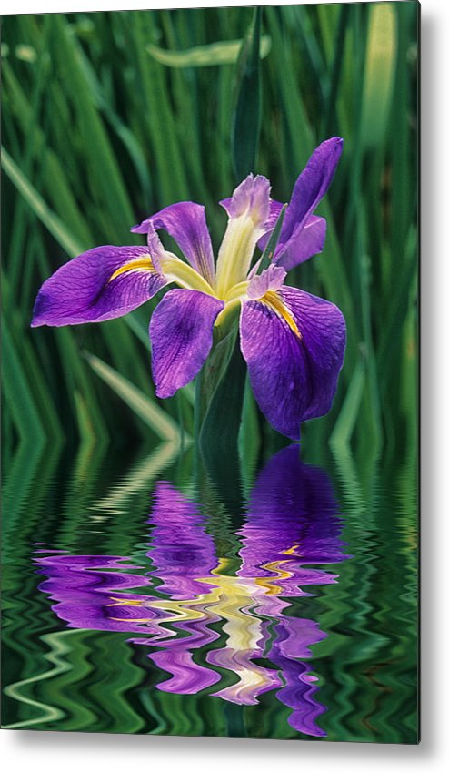 A Louisiana Iris Stands In Water Metal Print featuring the photograph Louisiana Iris by Keith Gondron