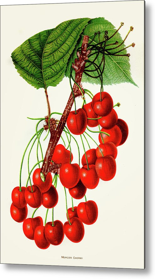 Engraving Metal Print featuring the digital art Mercer Cherry Illustration 1892 by Thepalmer