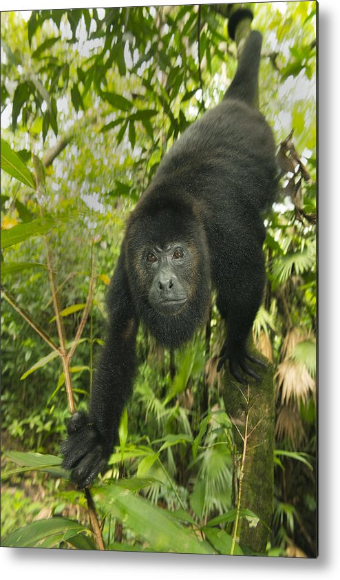 Kevin Schafer Metal Print featuring the photograph Mexican Black Howler Monkey Belize by Kevin Schafer