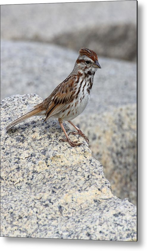 Birds Metal Print featuring the photograph Sparrow by Wayne Valler