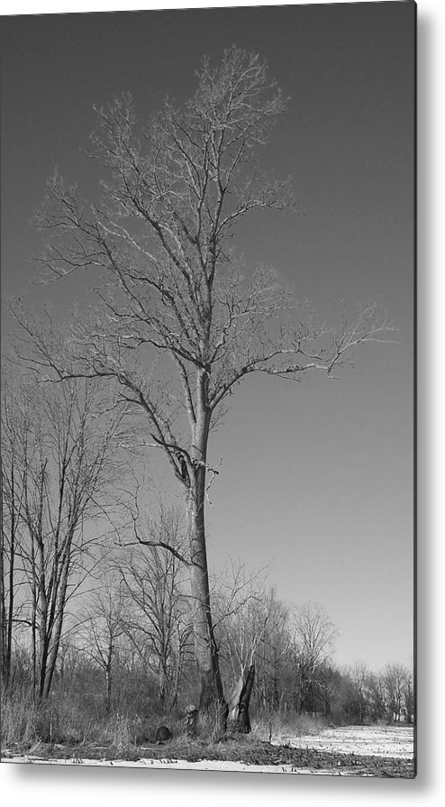 Tree Metal Print featuring the photograph Tree in Winter by Michelle Miron-Rebbe