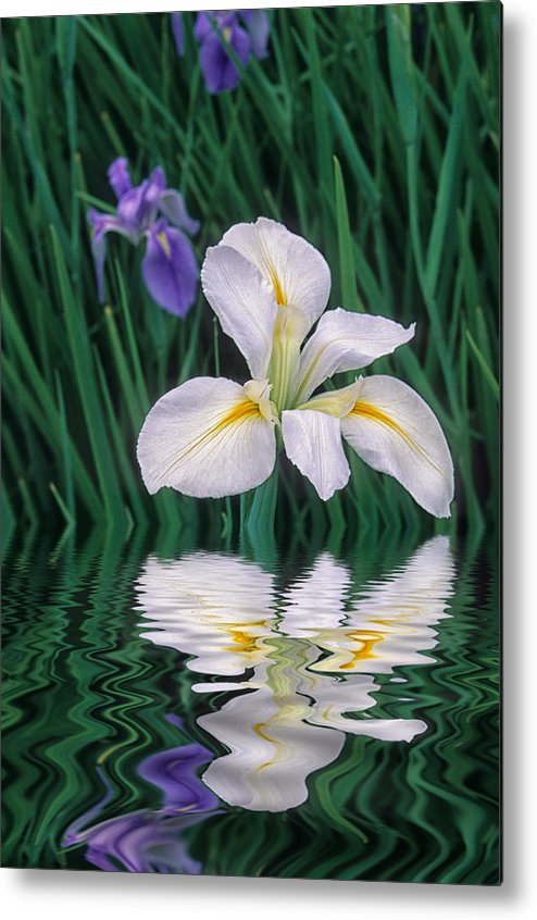 Flower Metal Print featuring the photograph White Iris by Keith Gondron