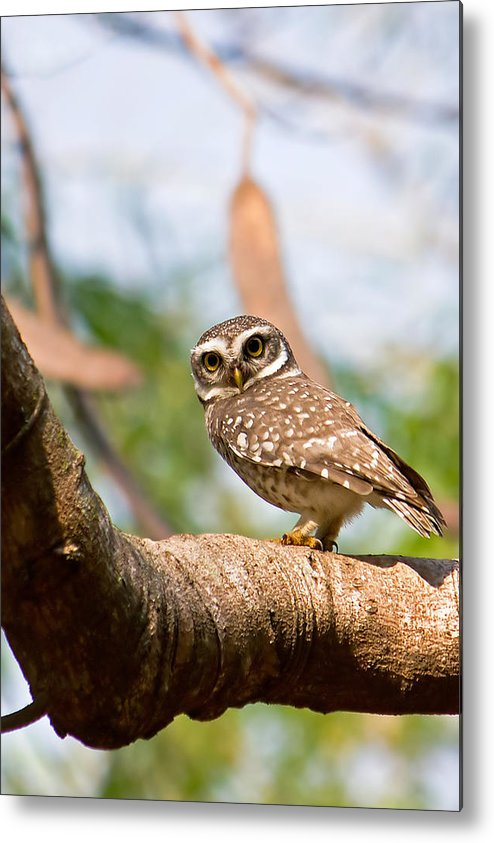 Vertical Metal Print featuring the photograph Spotted Owlet by Amith Nag Photography