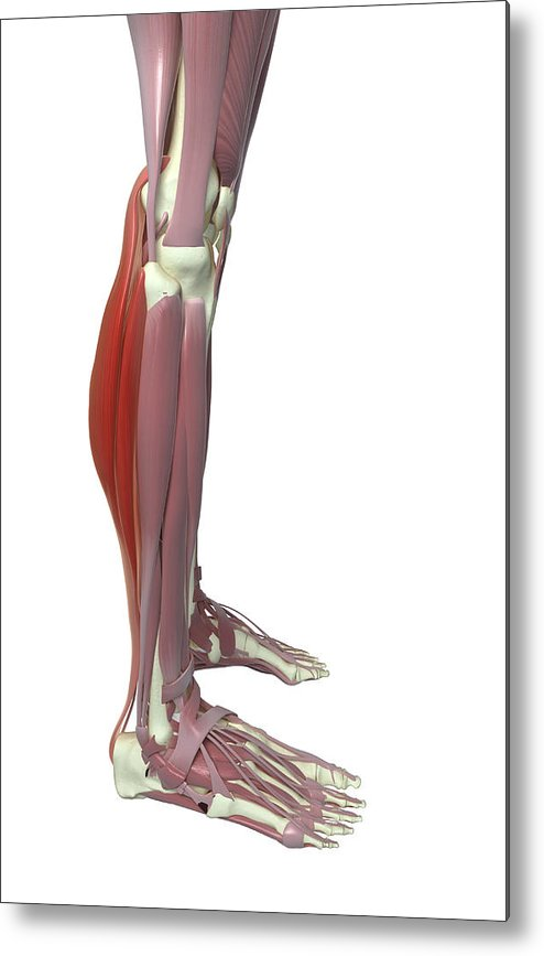 Vertical Metal Print featuring the photograph Gastrocnemius And Soleus Muscle by MedicalRF.com