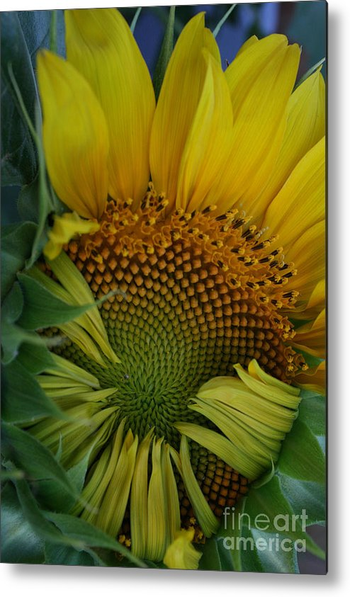 Photo Metal Print featuring the photograph Opening Sunflower by David Houston