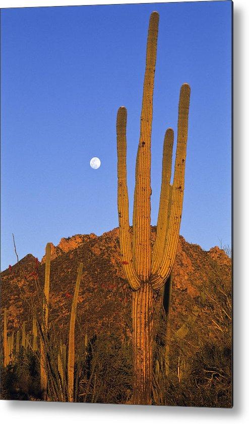 Mp Metal Print featuring the photograph Saguaro Carnegiea Gigantea Cactus by Konrad Wothe