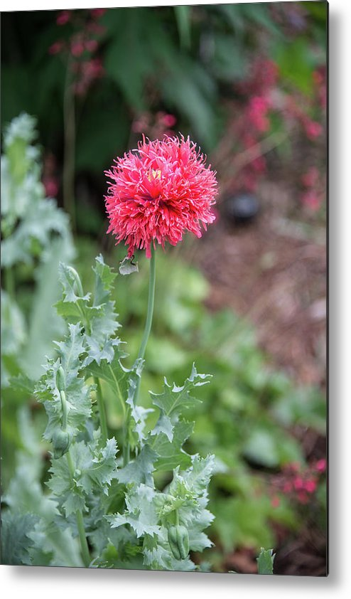 Salmon Poppy Metal Print featuring the photograph Salmon Poppy by Michael Bessler
