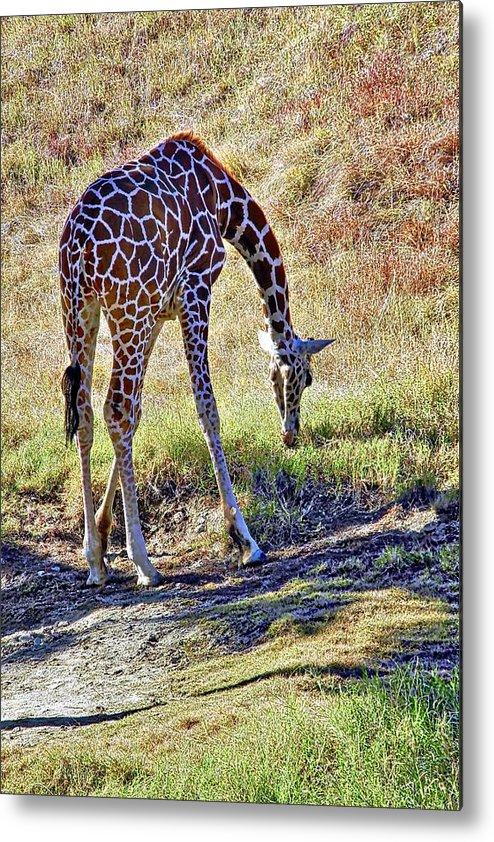 Giraffe Metal Print featuring the photograph A Beautiful Giraffe by Kirsten Giving