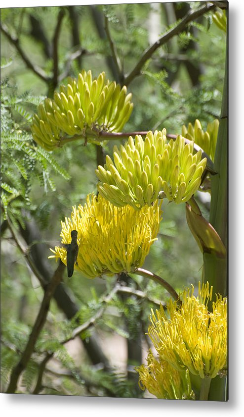 Aloe Metal Print featuring the photograph Aloe Blossoms with a Hummingbird by Richard Henne