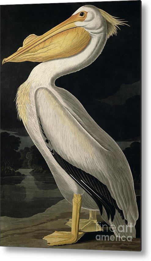 American White Pelican Metal Print featuring the painting American White Pelican by John James Audubon