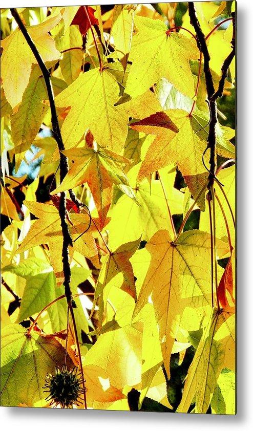 Liquidambar Metal Print featuring the photograph Backlit Liquidambar Leaves by Kirsten Giving