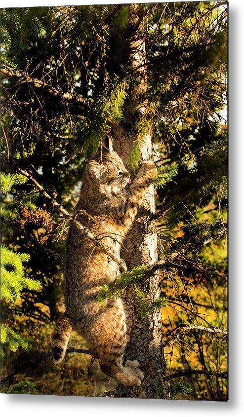 Bobcat Metal Print featuring the photograph Bobcat up a tree by Roy Nierdieck
