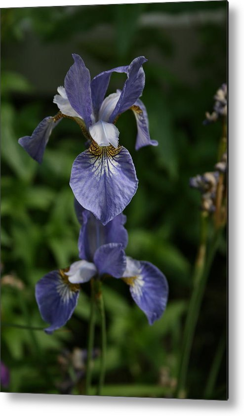 Flowers Metal Print featuring the photograph Elevated Iris by Alan Rutherford