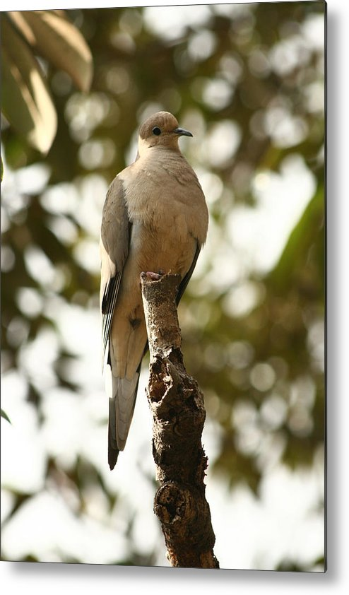 Dove Metal Print featuring the photograph February Dove by David Houston