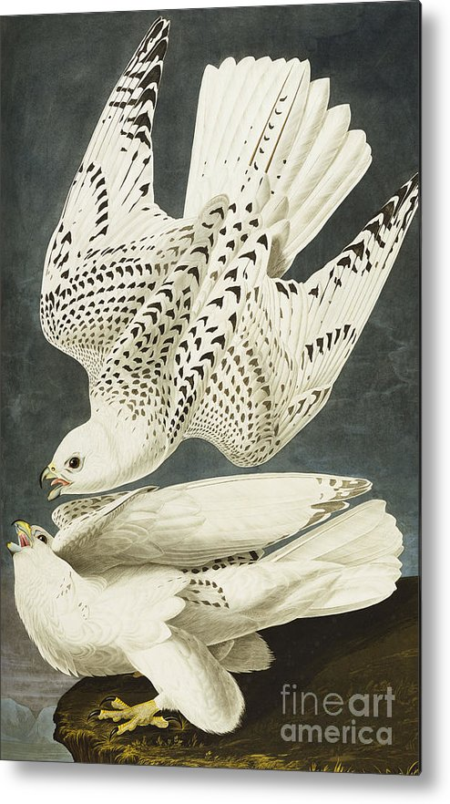 Iceland Or Jer Falcon. Gyrfalcon (falco Rustiocolis) From 'the Birds Of America' (aquatint & Engraving With Hand-colouring) By John James Audubon (1785-1851) Metal Print featuring the drawing Iceland Or Jer Falcon by John James Audubon
