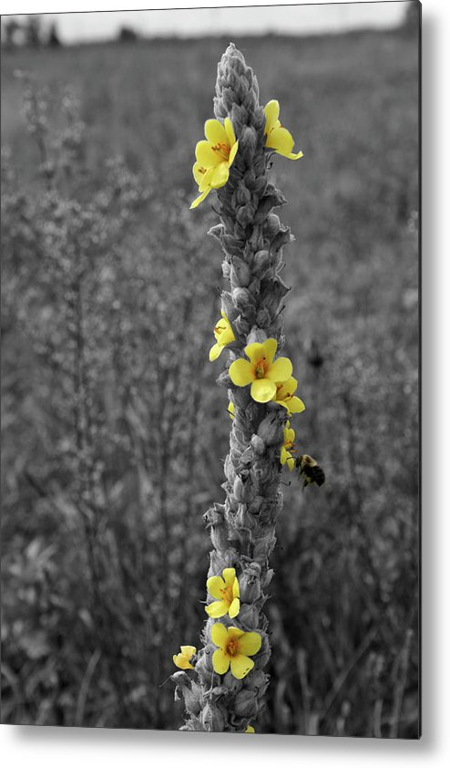 Color Desaturation Metal Print featuring the photograph Pollen Buzz by Dylan Punke