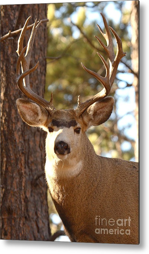 Buck Metal Print featuring the photograph Portrait of a 15-point Buck by Max Allen